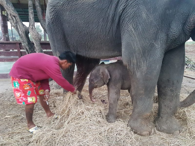 Jumjuree's baby a few hours old with mahout Nik