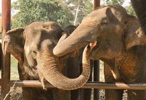 two old elephant friends touching each others faces with their trunks