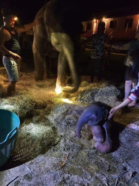 Humans help with elephant births
